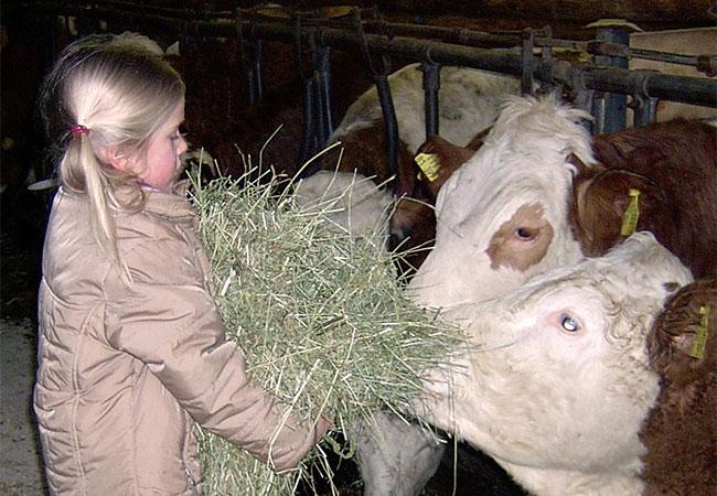 Kind füttert Kühe mit Heu